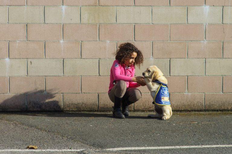 labrador sable chiot chien guide élève
