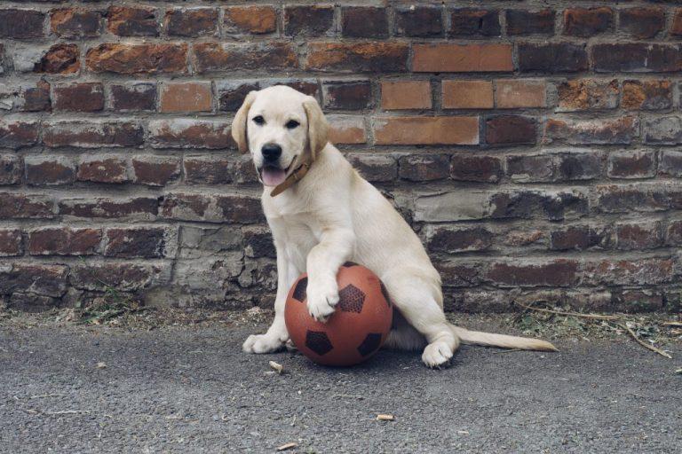 chiot ballon foot labrador coupe monde