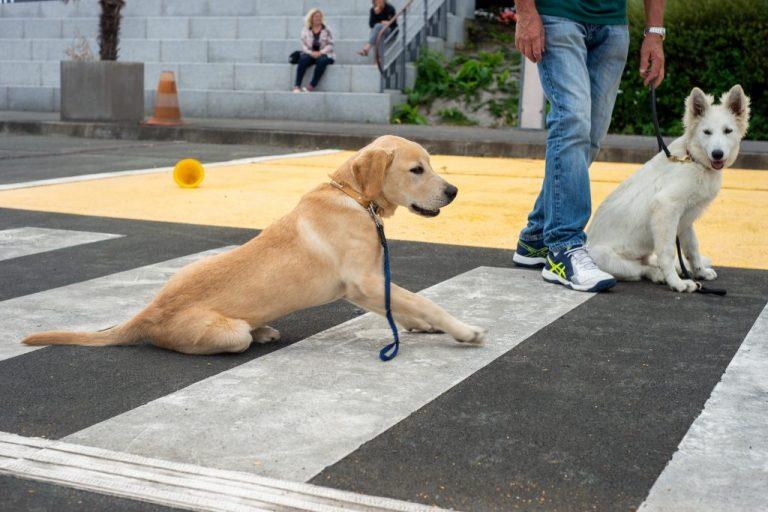 chien guide aveugle berger suisse blanc race labrador éducation obéissance